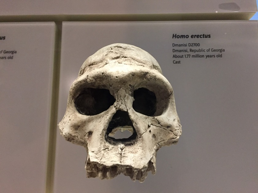 homo erectus bones