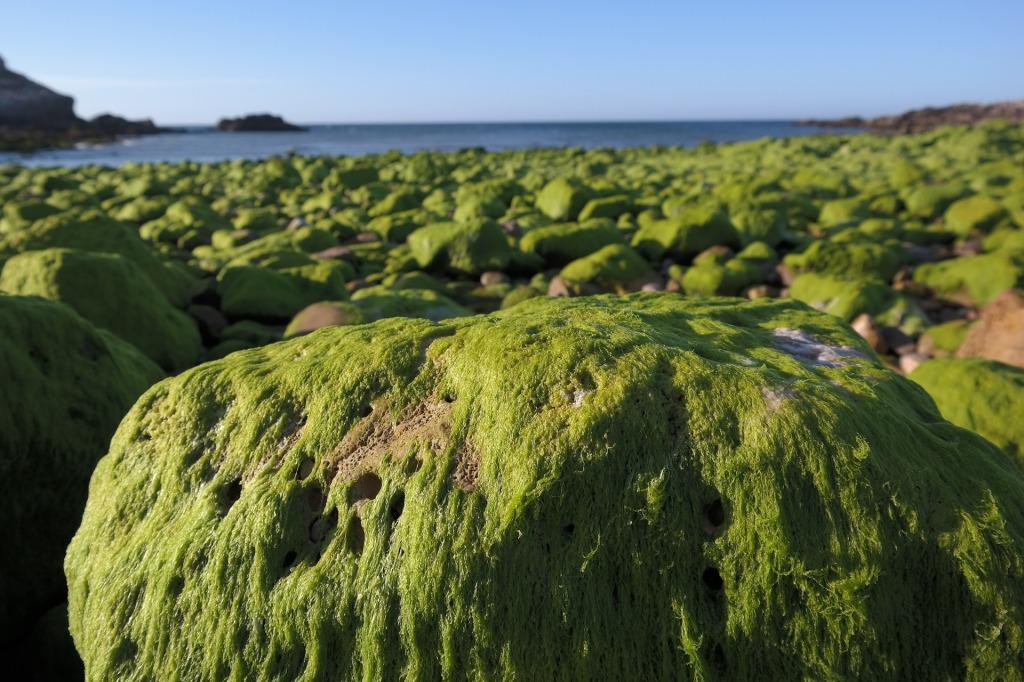 algae on beach rocks