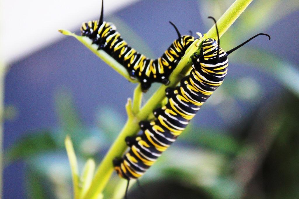 larvae form