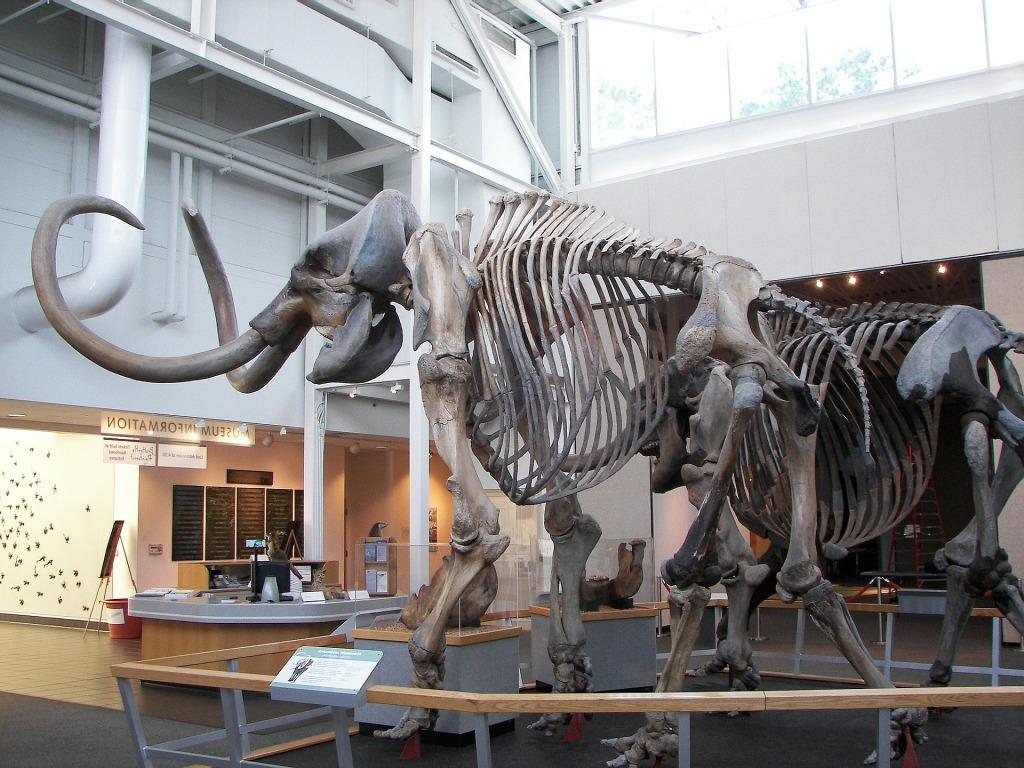 woolly mammoth bone display
